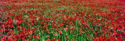 Wild poppies growing in a field, South Downs, Sussex, England