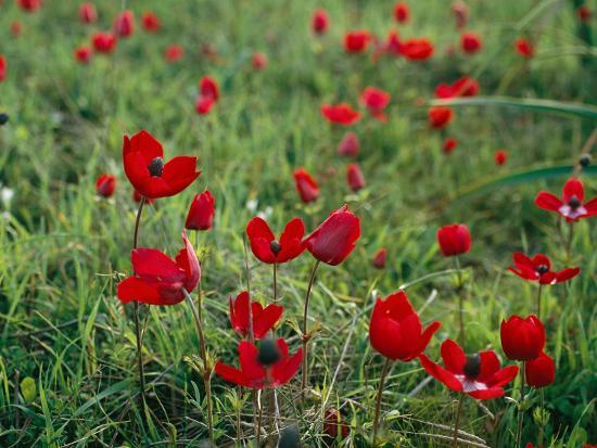 Wild Poppies Growing in a Turkish Field-Tim Laman-Photographic Print