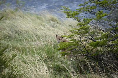 Wild Puma in Chile-Joe McDonald-Photographic Print
