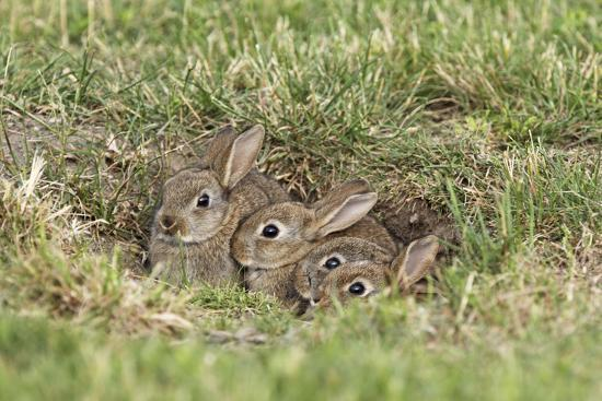 Wild Rabbits Young--Photographic Print