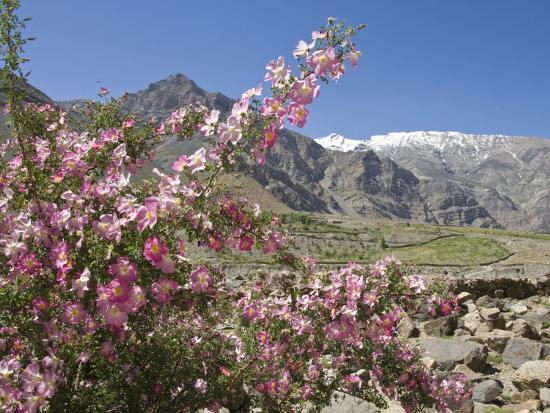 Wild Rose Shrub in Blossom with Mountains Beyond, Spiti Valley, Spiti, Himachal Pradesh, India-Simanor Eitan-Photographic Print