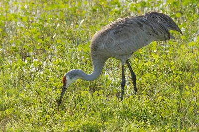 Wild Sandhill Crane Feeding, Florida-Maresa Pryor-Photographic Print