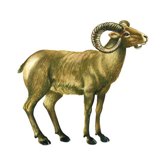Wild Sheep (Ovis Canadensis), Mammals-Encyclopaedia Britannica-Art Print