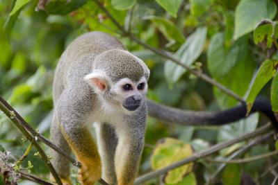 Wild Squirrel Monkey in Tree, Ile Royale, French Guiana-Cindy Miller Hopkins-Photographic Print