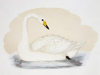 Wild Swan (Cygnus Cygnus), United Kingdom, 19th Century--Giclee Print