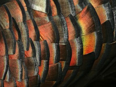 Wild Turkey Feather Close-up, Las Colmenas Ranch, Hidalgo County, Texas, USA-Arthur Morris-Photographic Print