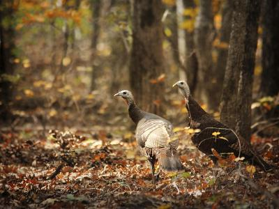 Wild Turkey in the Woods-Jai Johnson-Giclee Print