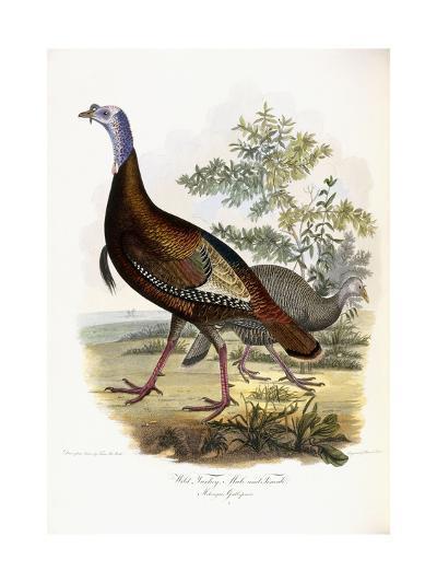 Wild Turkey, Male and Female, 1808-1814-Titian Ramsey Peale-Giclee Print