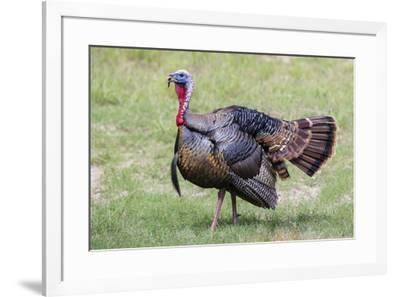 Wild Turkey male feeding and drinking by pond-Larry Ditto-Framed Photographic Print