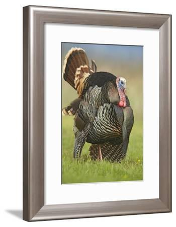 Wild Turkey male in cortship display, Palo Duro Canyon State Park, Texas-Tim Fitzharris-Framed Art Print