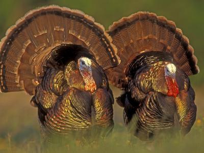 Wild Turkey Males Displaying, Texas, USA-Rolf Nussbaumer-Photographic Print