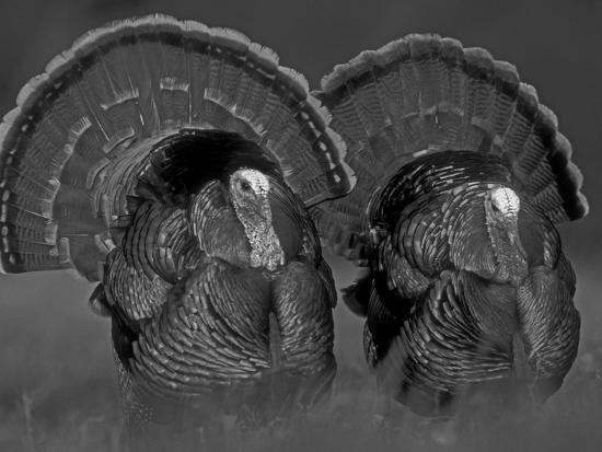 Wild Turkey Males Displaying, Texas, USA-Rolf Nussbaumer-Photographic Print