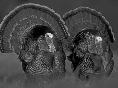 https://imgc.artprintimages.com/img/print/wild-turkey-males-displaying-texas-usa_u-l-q10oha70.jpg?p=0
