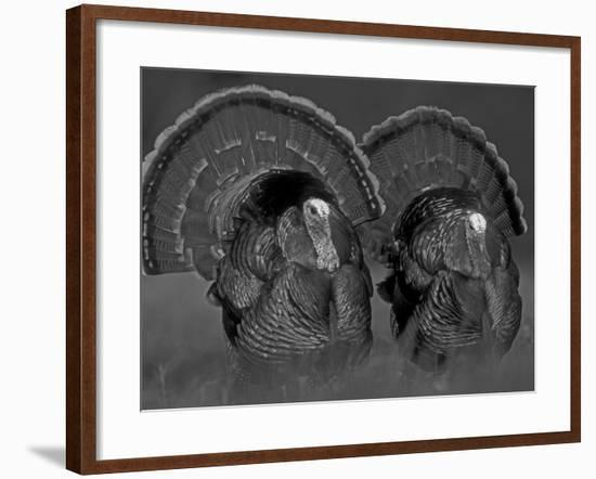 Wild Turkey Males Displaying, Texas, USA-Rolf Nussbaumer-Framed Photographic Print