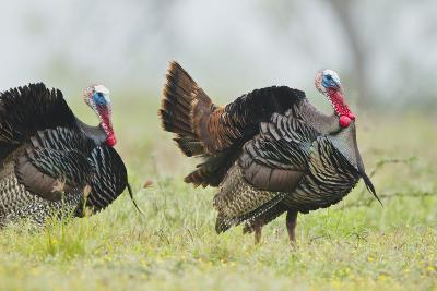 Wild Turkey (Meleagris Gallopavo) Male Strutting, Texas, USA-Larry Ditto-Photographic Print