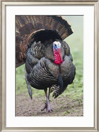 Wild Turkey Meleagris Gallopavo Male Strutting Texas Usa Photographic Print Larry Ditto Art Com