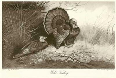 Wild Turkey-Archibald Thorburn-Art Print
