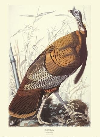 Wild Turkey-John James Audubon-Art Print
