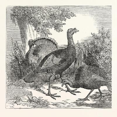 Wild Turkeys--Giclee Print