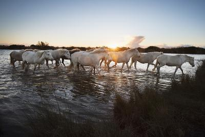 Wild White Horses at Sunset, Camargue, France, Europe-Janette Hill-Photographic Print