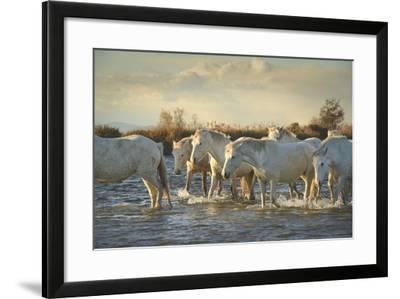 Wild White Horses, Camargue, France, Europe-Janette Hill-Framed Photographic Print