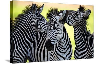 Wild Zebra Socialising-Africa--Stretched Canvas Print