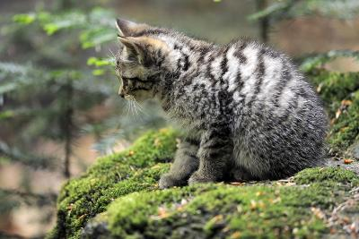 Wildcat, Felis Silvestris, Young Animal, Watchfulness-Ronald Wittek-Photographic Print