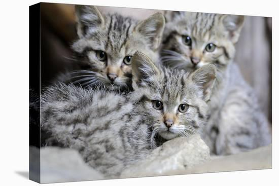 Wildcat, Felis Silvestris, Young Animals-Ronald Wittek-Stretched Canvas Print