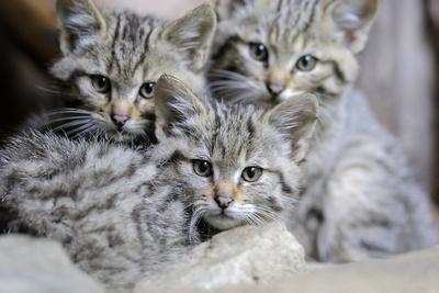 Wildcat, Felis Silvestris, Young Animals-Ronald Wittek-Photographic Print