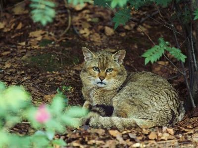 Wildcat in Forest--Photographic Print