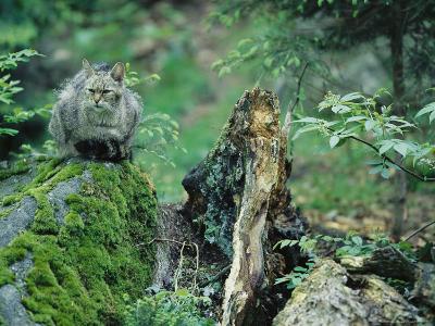 Wildcat in Woodland Habitat, Bayerischer Wald National Park, Germany-Norbert Rosing-Photographic Print