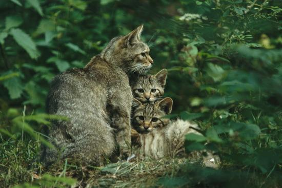 Wildcat with Young, Bayerischer Wald National Park, Germany-Norbert Rosing-Photographic Print