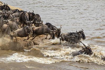 Wildebeest herd crossing Mara River in late summer, Masai Mara, Kenya, Africa-Adam Jones-Photographic Print