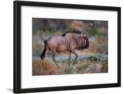 Wildebeest in a Field, Etosha National Park, Namibia
