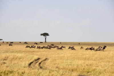Wildebeest, Masai Mara, Kenya-Sergio Pitamitz-Photographic Print