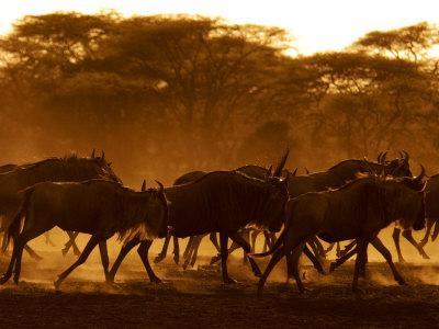 https://imgc.artprintimages.com/img/print/wildebeest-running-tanzania_u-l-q10o7vp0.jpg?p=0