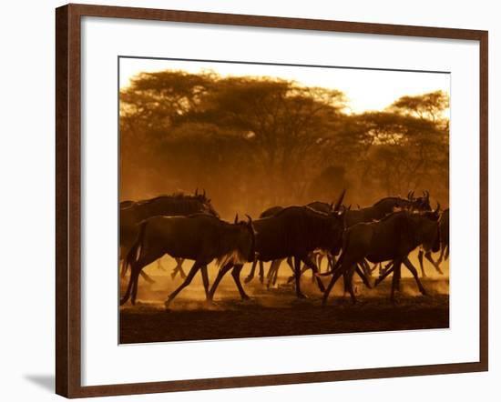 Wildebeest Running, Tanzania-Edwin Giesbers-Framed Photographic Print