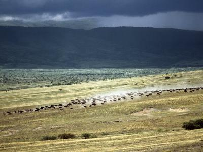 Wildebeest Stampede on the Dry Grassy Plains on the West Side of the Ngorongoro Highlands-Nigel Pavitt-Photographic Print