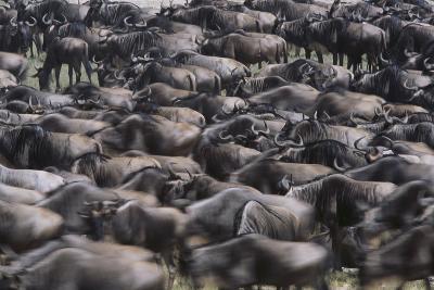 Wildebeest-DLILLC-Photographic Print