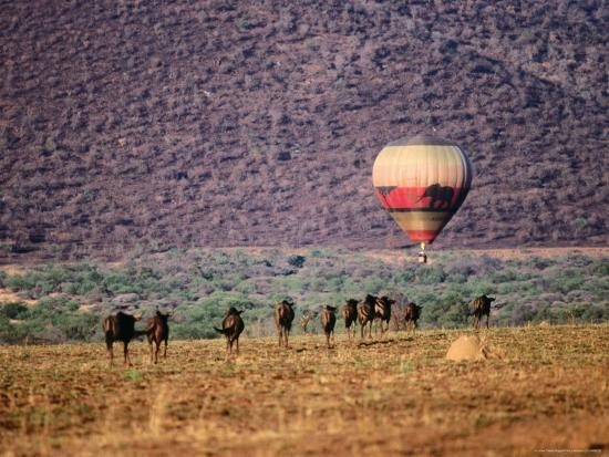 Wildebeests and Hot-Air Balloon-Frans Lemmens-Photographic Print