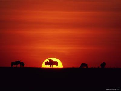 Wildebeests are Silhouetted against the Sun-Medford Taylor-Photographic Print
