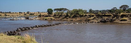 Wildebeests (Connochaetes Taurinus) Crossing a River, Serengeti National Park, Tanzania--Photographic Print