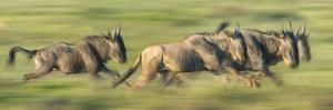Wildebeests (Connochaetes Taurinus) Migration, Serengeti National Park, Tanzania