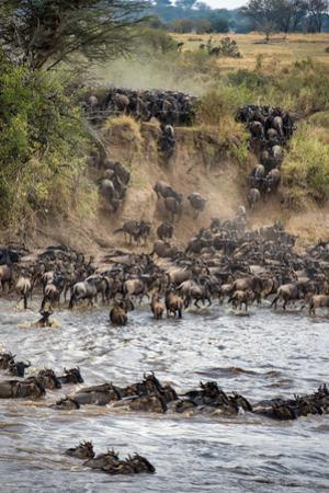 Wildebeests Crossing Mara River, Serengeti National Park, Tanzania