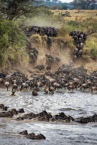 Wildebeests Crossing Mara River, Serengeti National Park, Tanzania