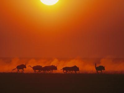 Wildebeests in twilight, Zambezi River area-Chris Johns-Photographic Print