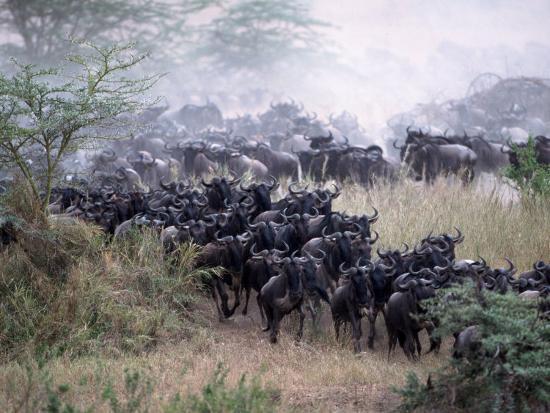 Wildebeests Migrating, Tanzania-D^ Robert Franz-Photographic Print