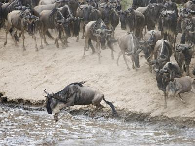 Wildebeests or Gnus Jumping into the Mara River to Cross During Migration-Arthur Morris-Photographic Print