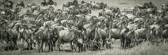 Wildebeests-Joani White-Premium Photographic Print