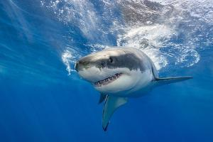 Great White Shark Swimming Just under the Surface at Guadalupe Island Mexico by Wildestanimal